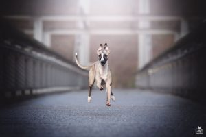 Kaiserslautern City Dogs - Whippet - Hundefotografie in Kaiserslautern von BB SnapShot by Jaqueline Samad