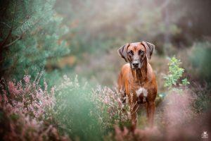 Rhodesian Ridgeback Samira Hundefotografie in Kaiserslautern von BB SnapShot by Jaqueline Samad in der Mehlinger Heide