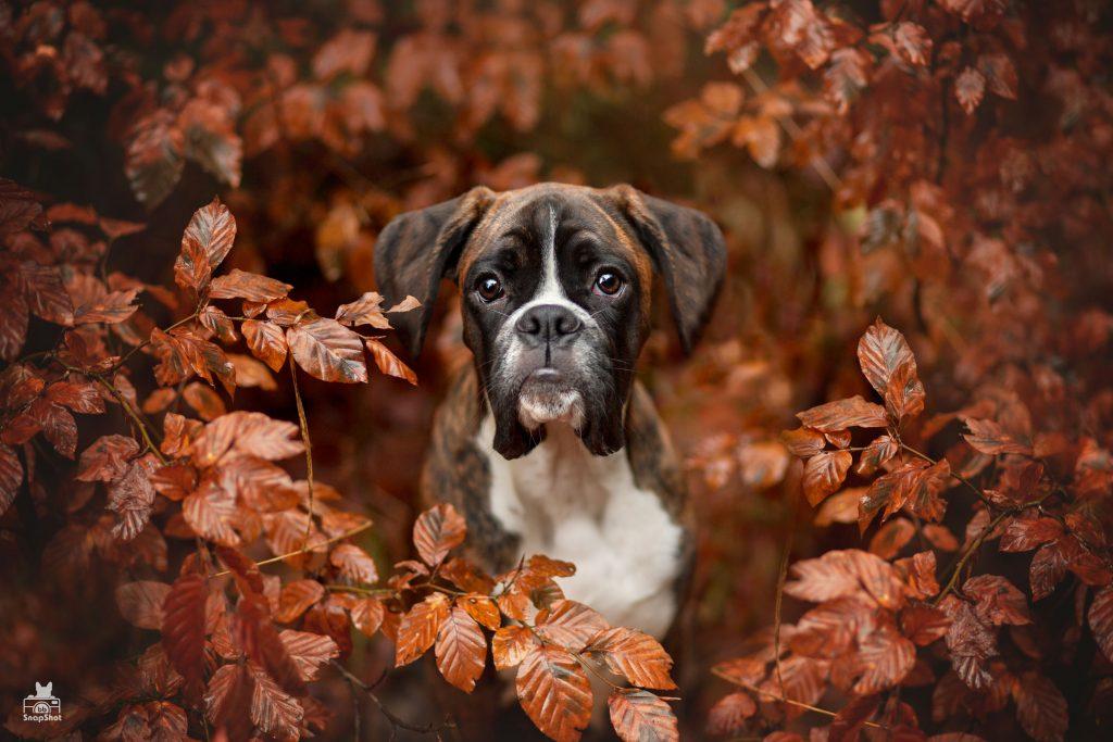 Boxer Welpe Fritz Hundefotografie in Kaiserslautern von BB SnapShot by Jaqueline Samad